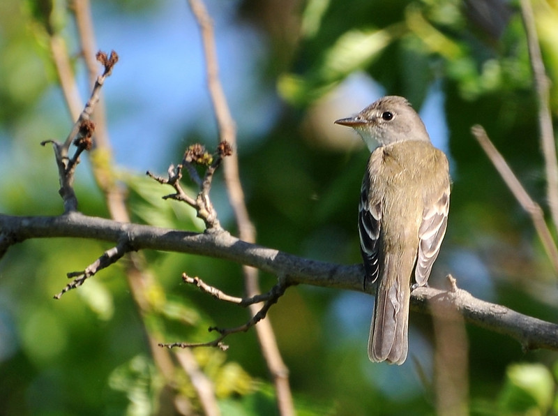 Easterm wood pewee; Buffalo Trace