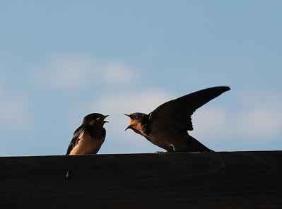 nightjars and barn swallows