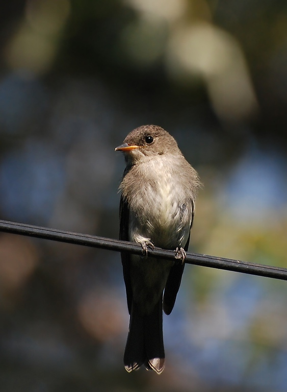 Eastern wood-pewee?? Backyard photo