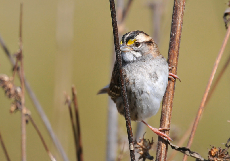 White-Throated Sparrow; South farms October 24, 2009