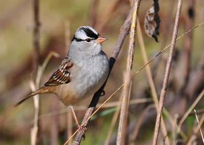 White-Crowned Sparrow; South farms October 24, 2009