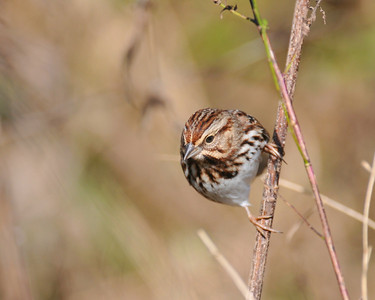Song Sparrow; South farms October 24, 2009