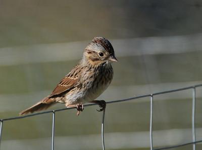 Lincoln Sparrow?