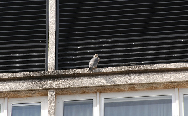 Peregrine falcon on UI campus