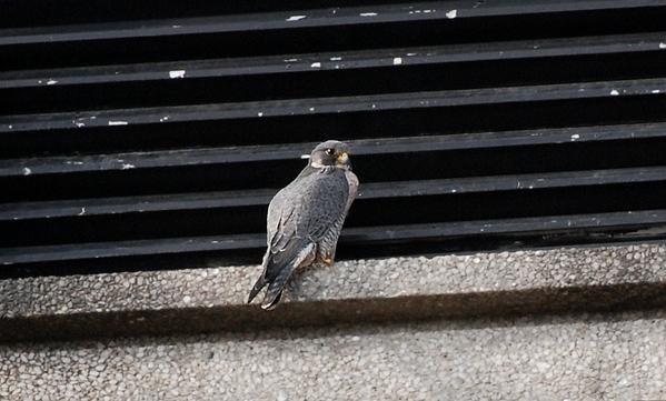Peregrine Falcon, UI Campus