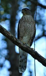 Cooper's hawk, Robeson trail, Champaign