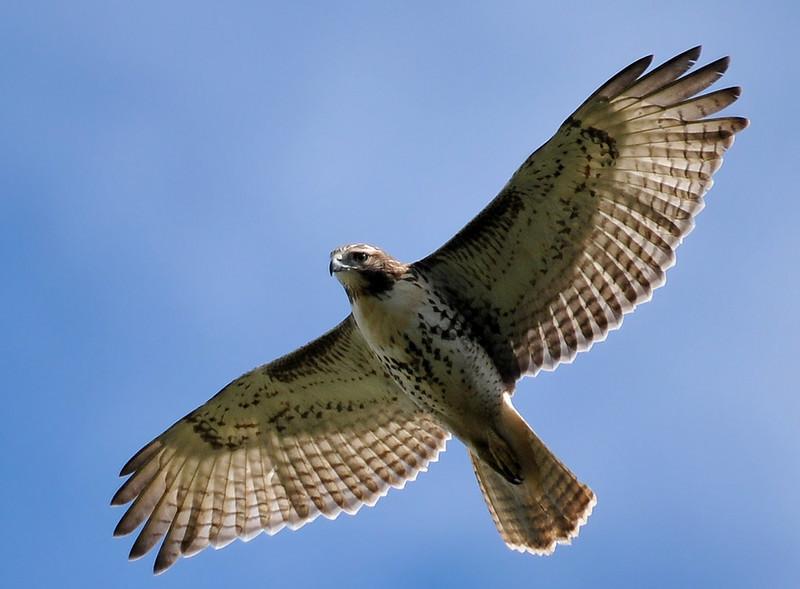 red-tailed hawk, Meadowbrook, Urbana