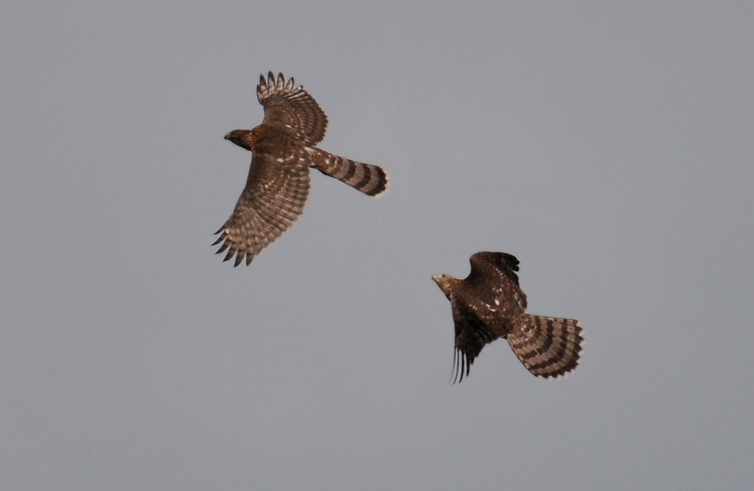 Cooper Hawk playing, Curtis wetlands, Champaign