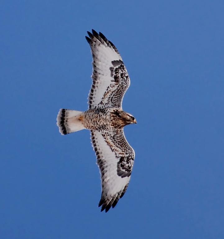 rough-legged hawk, Curtis wetlands, Champaign
