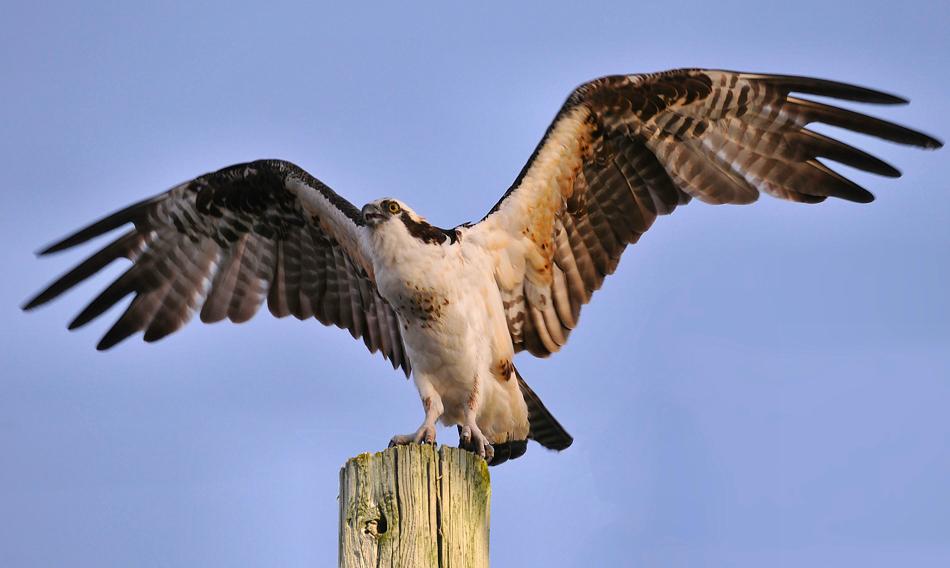 Osprey, MERRITT ISLAND NATIONAL WILDLIFE REFUGE, Florida, November 2009