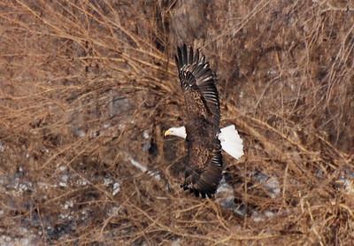 Bald eagle, Starved rock, Illinois