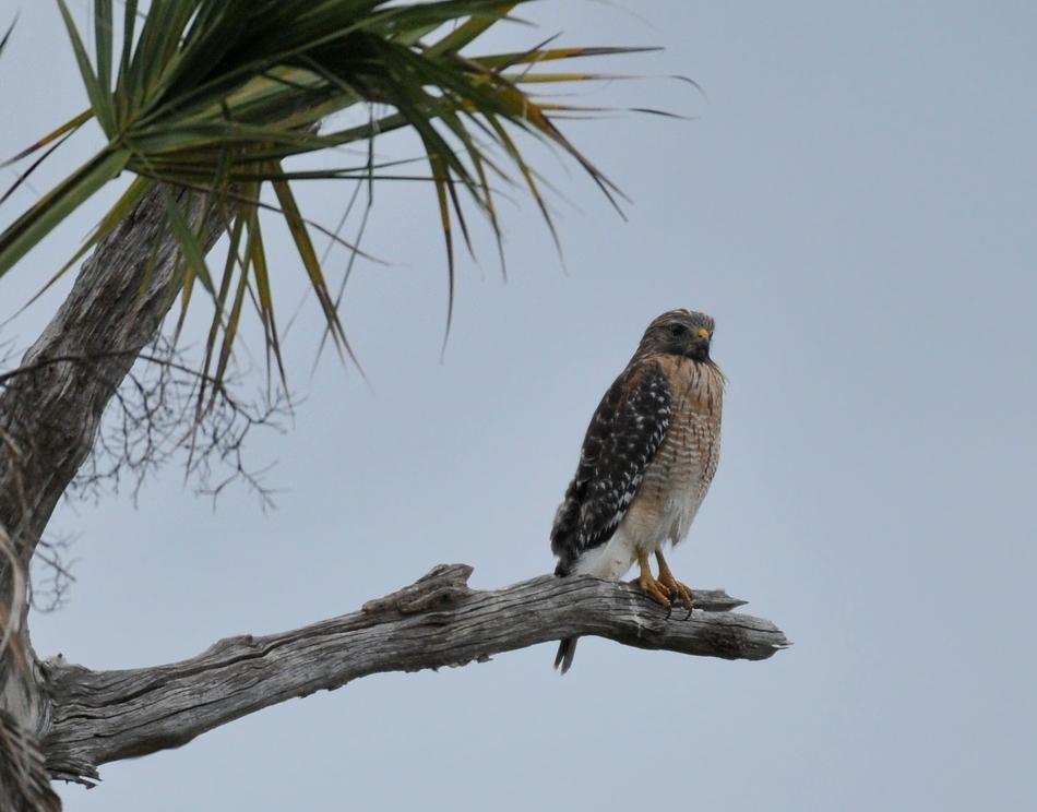 Red-shouldered hawk, Orlando wetlands, November 2009