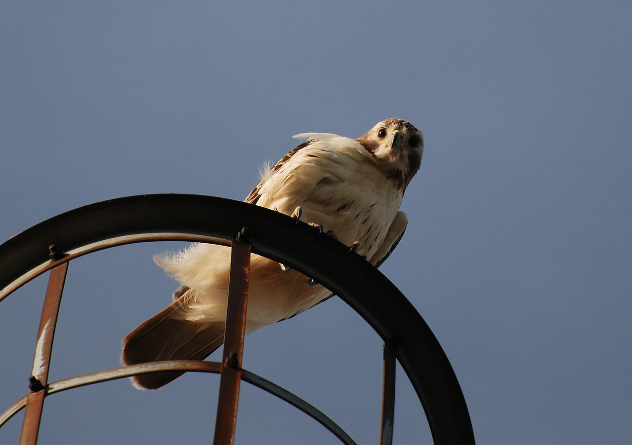 red-tailed hawk, south farms, UI campus