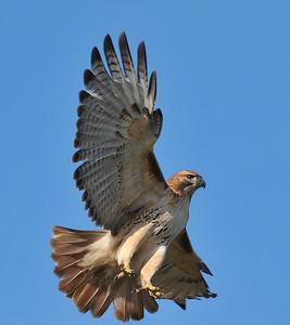 Red-tailed hawk, Allerton park, Illinois
