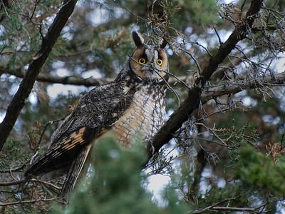 LONG-EARED OWL, South Campus, Urbana