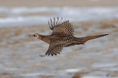 rough-legged hawk & pheasant