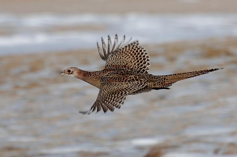 female pheasant