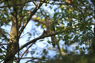 adult Accipiter, perhpas Cooper's hawk
