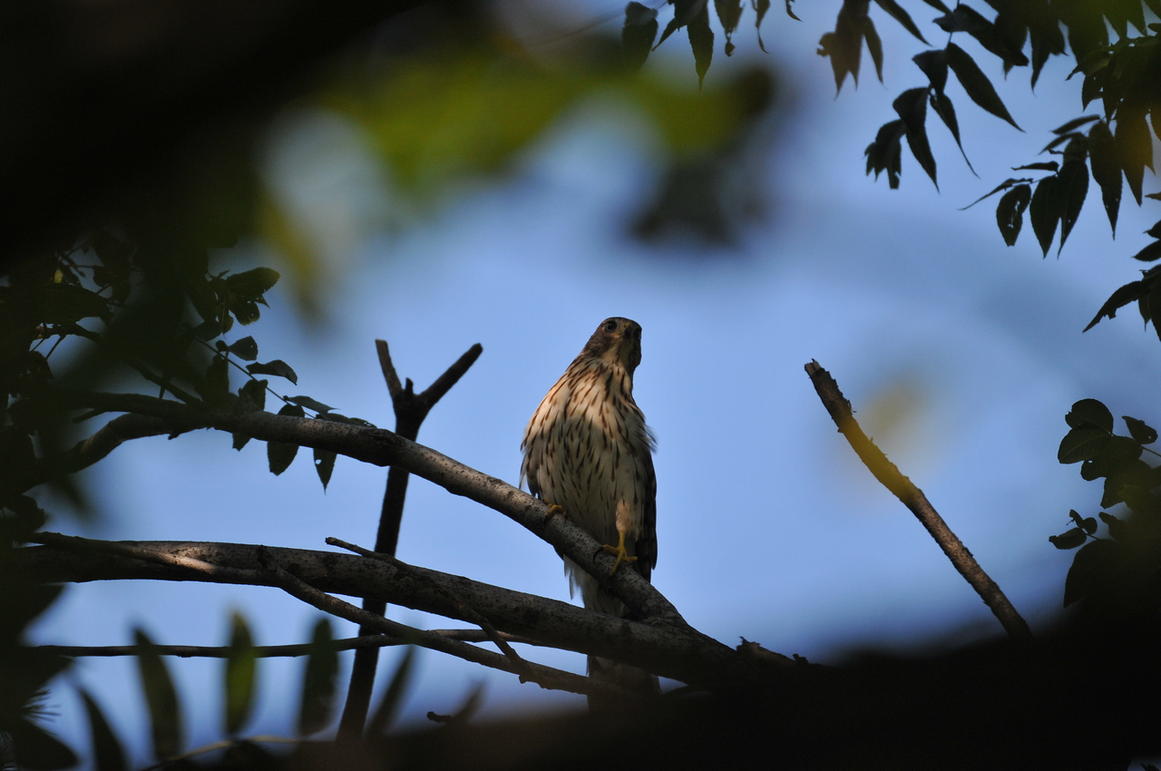 a young Accipiter, perhpas Cooper's hawk