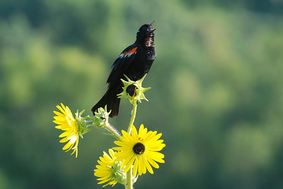 Song Birds from the Prairie