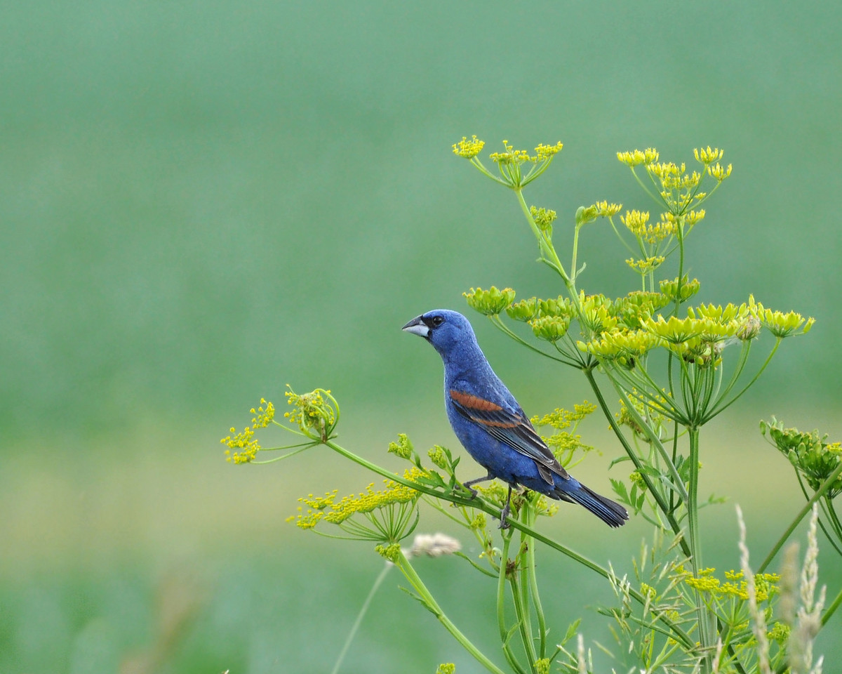 Blue Grosbeak, male