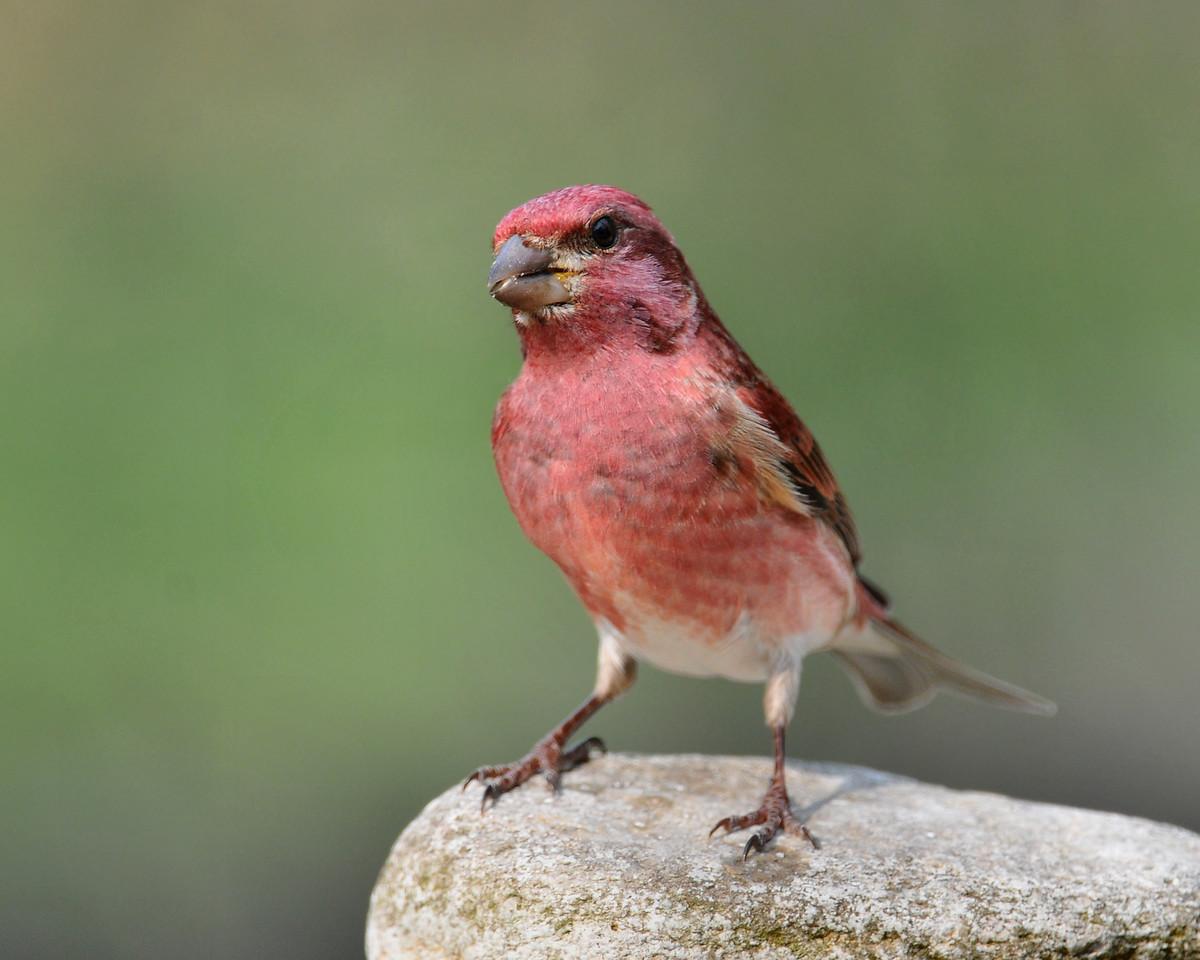 Purple Finch, male