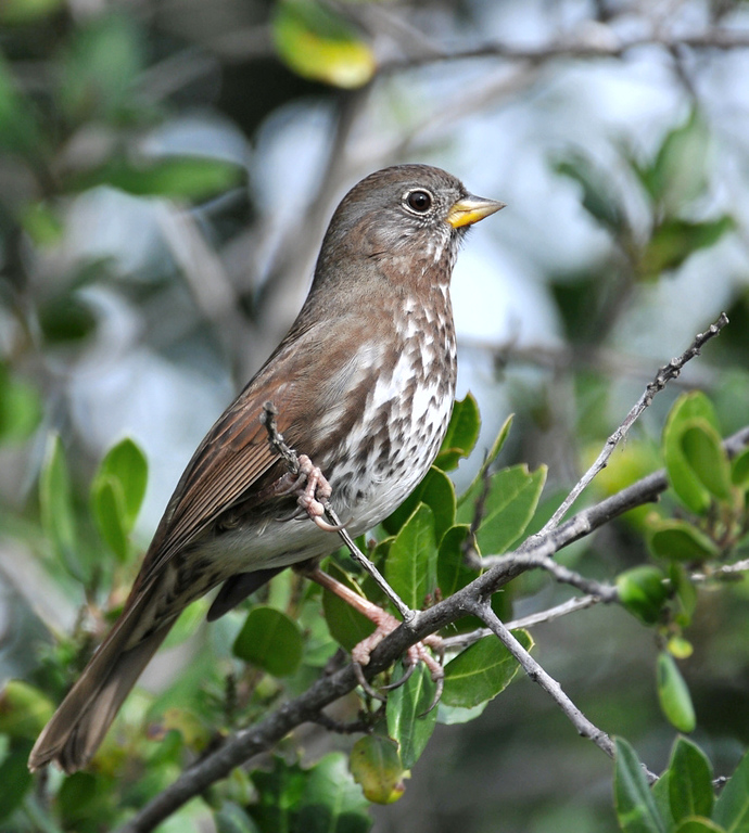 Fox Sparrow, CA