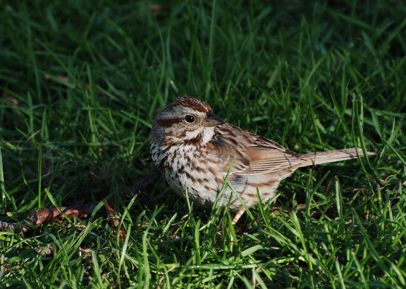 Song sparrow, living-room photo