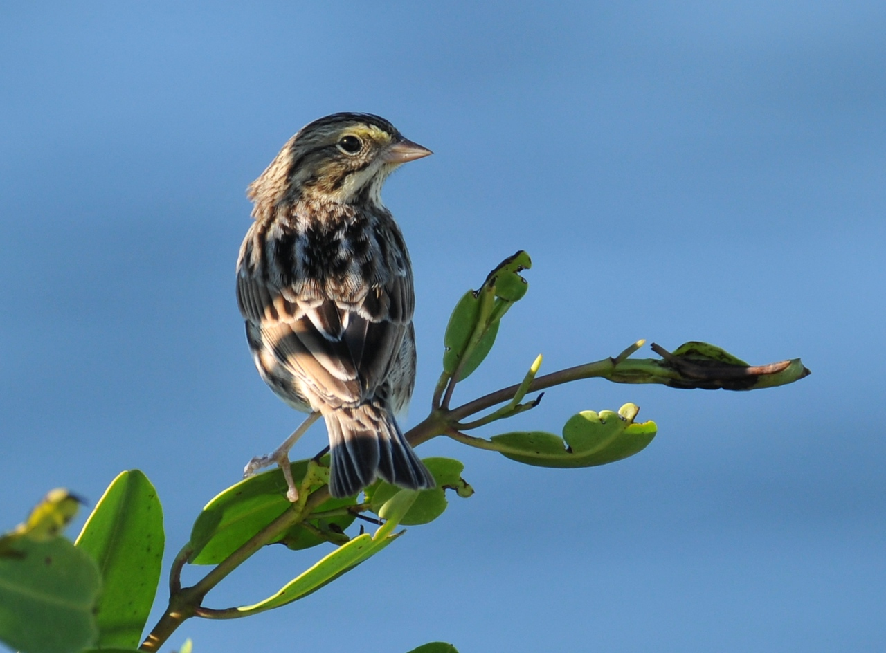 November in Florida - Savannah Sparrow