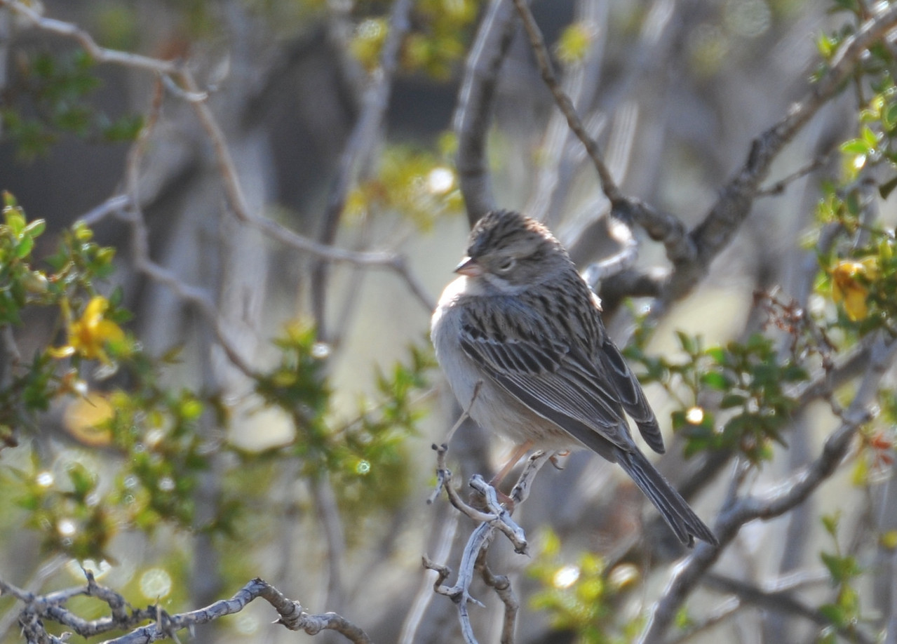 a Clay-colored Sparrow, CA<br /> <br /> Thank you again, Bryan; could not get a better photo - the small flock just flew away in a second.