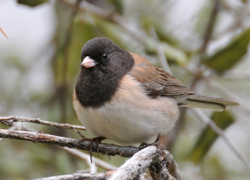 Oregon Junco, CA