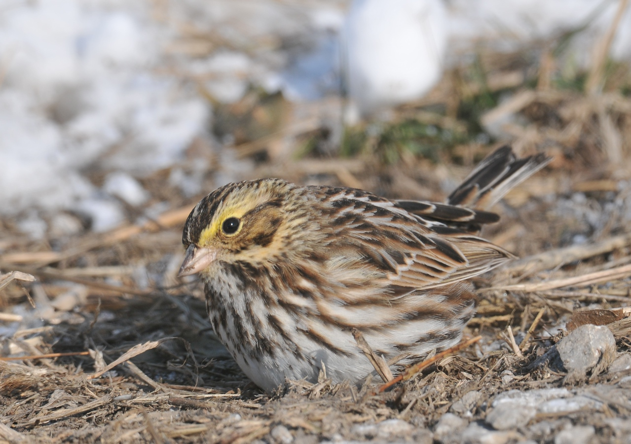 Savannah Sparrow, Illinois