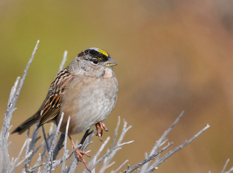 Golden Crowned Sparrow, CA