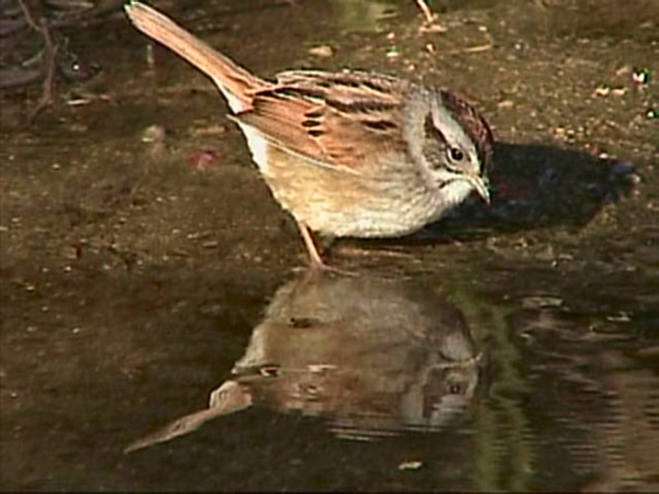Swamp sparrow, frame from Sony mini digital video