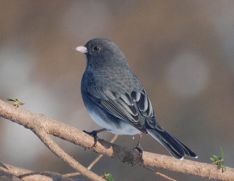 Male dark-eyed junco, living-room photo
