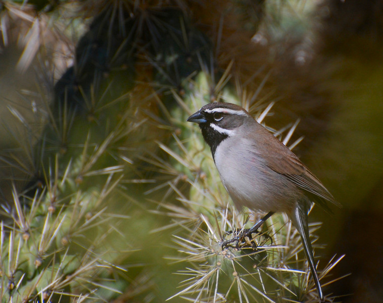 Black-throated sparrow, Arizona (not found in Illinois)