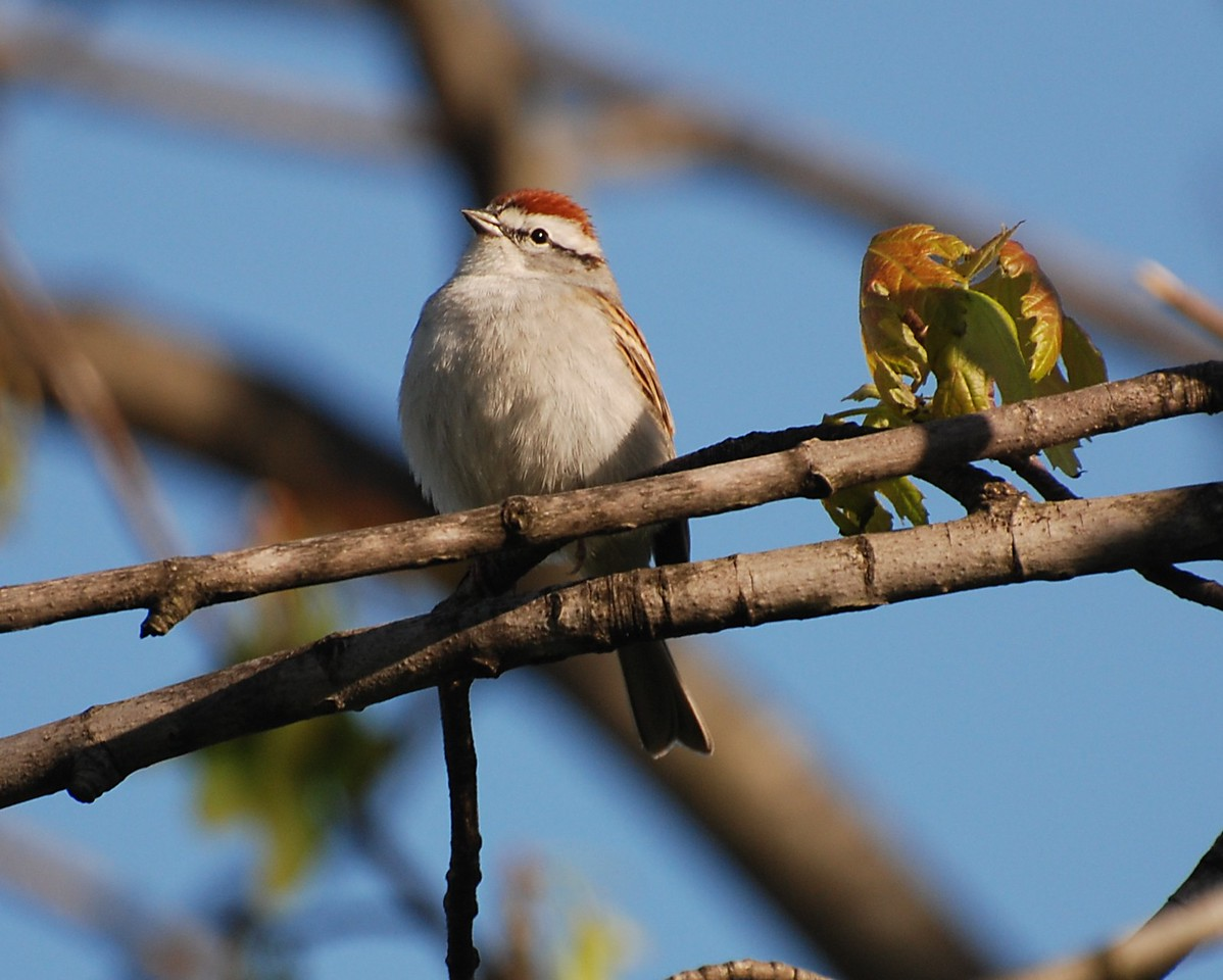 Chipping sparrow, living-room photo