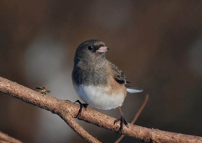 Female dark-eyed junco, living-room photo