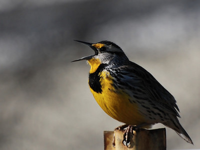 The two North American Meadowlarks