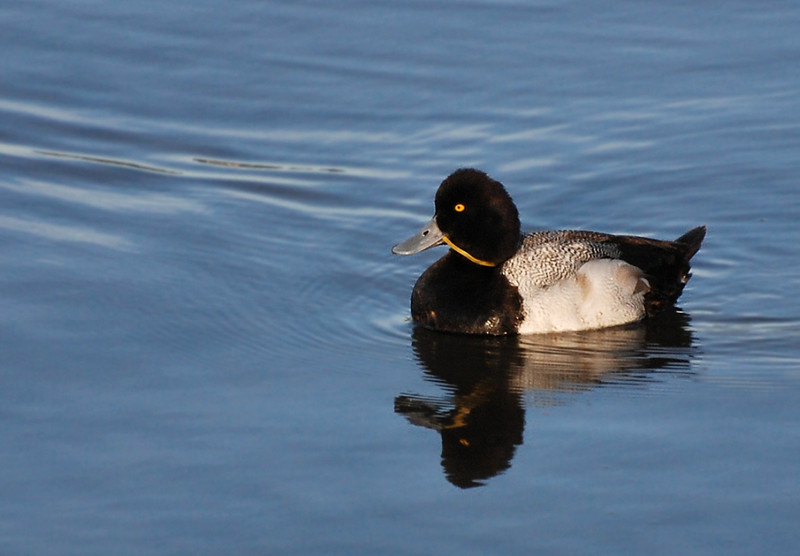 Poor guy could not get rid og the rubber band; lesser or greater scaup. end of february