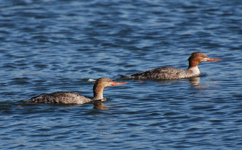 female red-breasted mergansers. April 21, San Diego