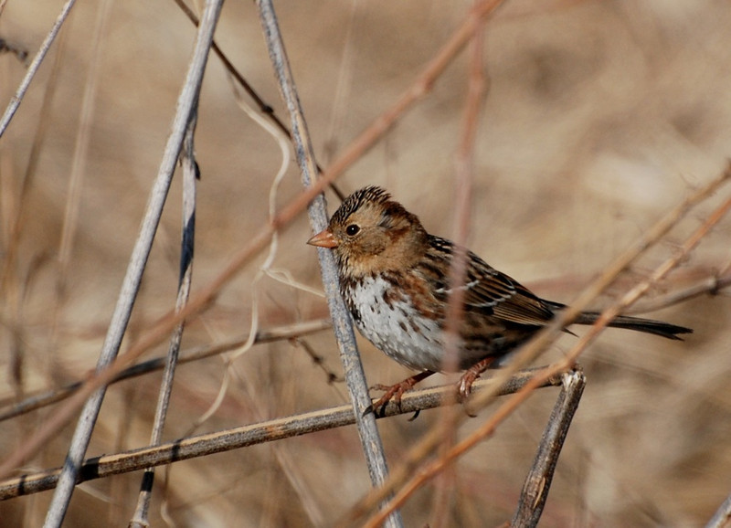 Harris's Sparrow - first winter