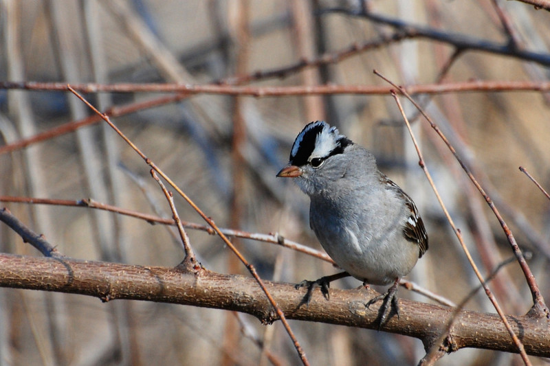 white crowned sparrow, adult