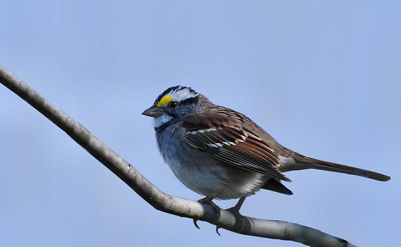 White-troated sparrow