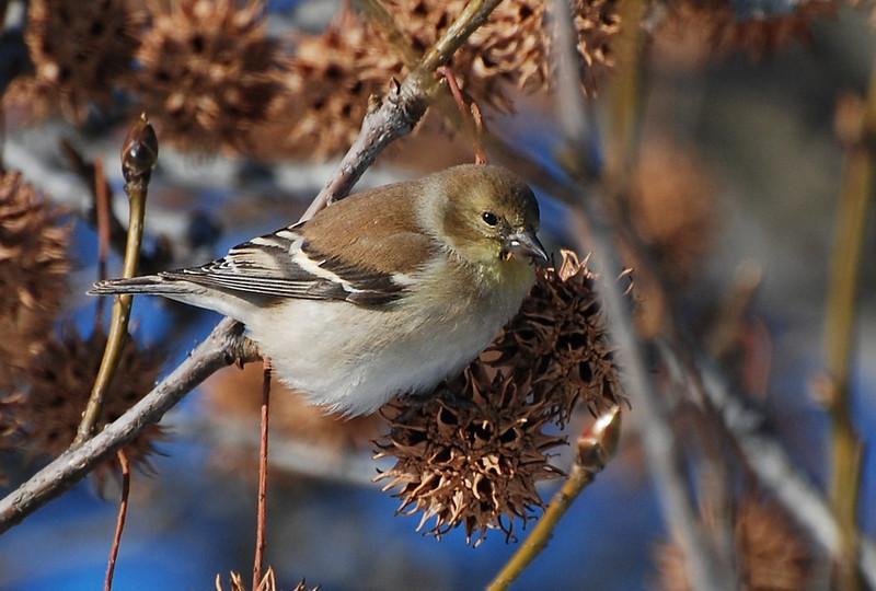 Goldfinch - Woodlawn