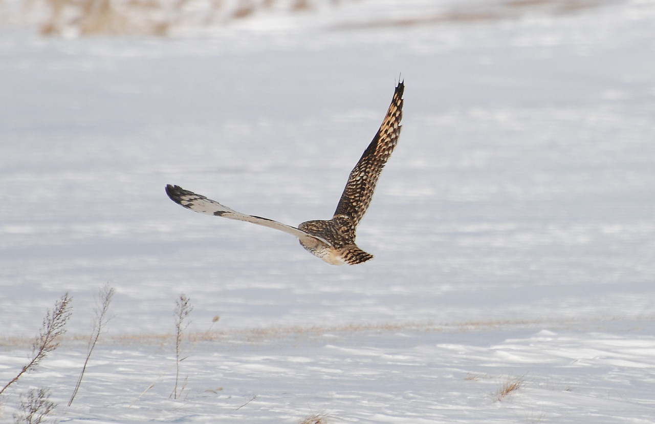 short eared owl on Curtis west of Champaign neear the golf-course