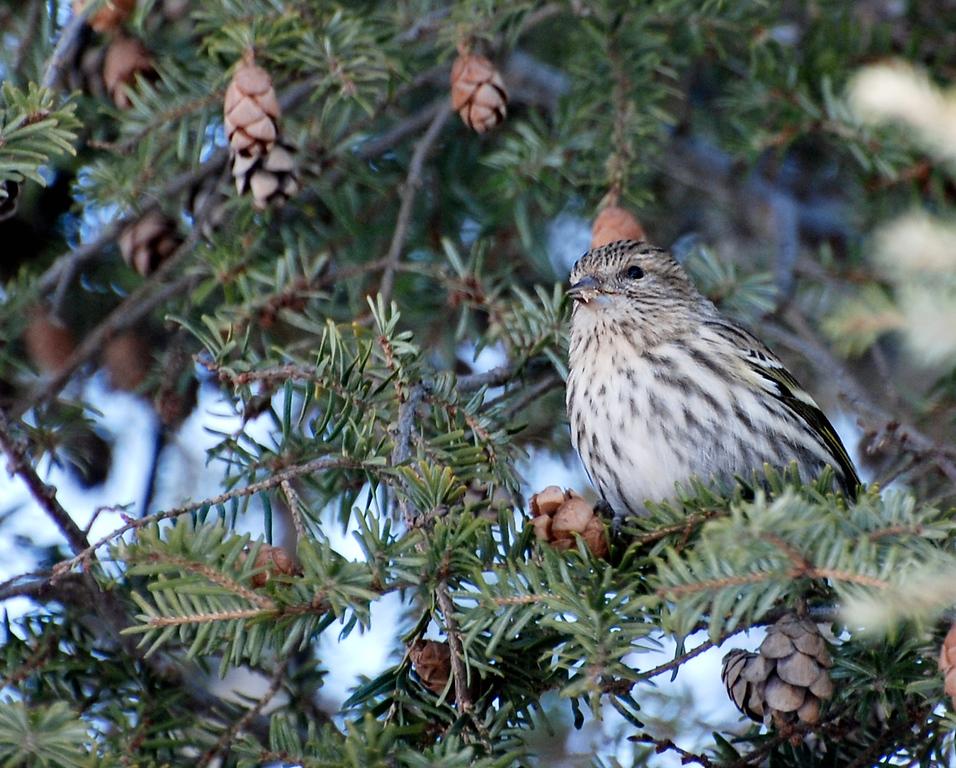 Pine siskin - Woodlawn