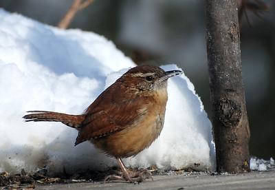 Winter birds in Urbana Champaign