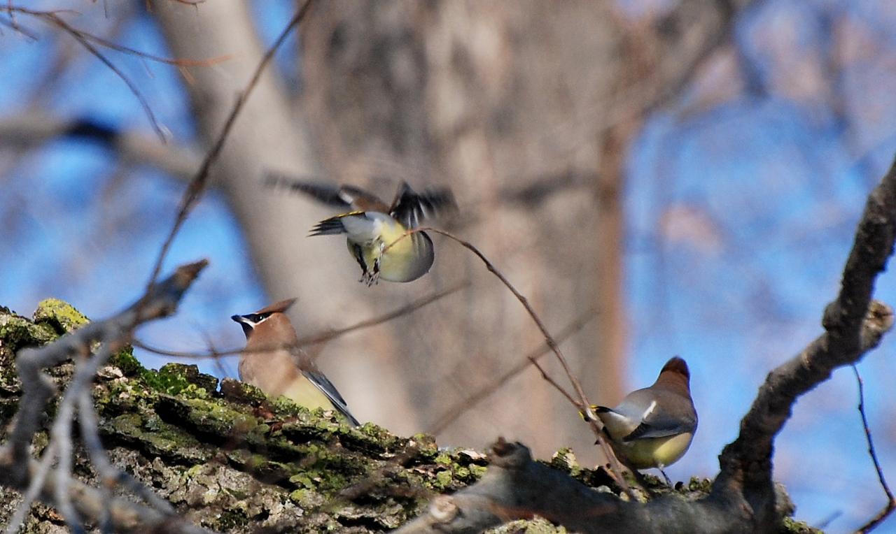 waxwings - Woodlawn