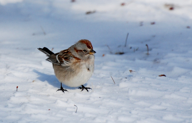 Tree sparrow - west of Champaign